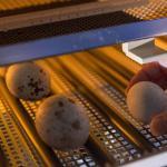 Купить инкубационное яйцо утки кряквы